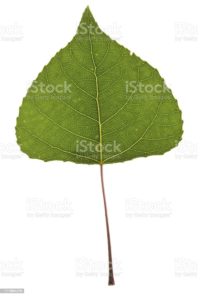 Poplar leaf stock photo