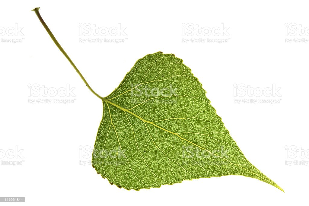 Poplar leaf royalty-free stock photo