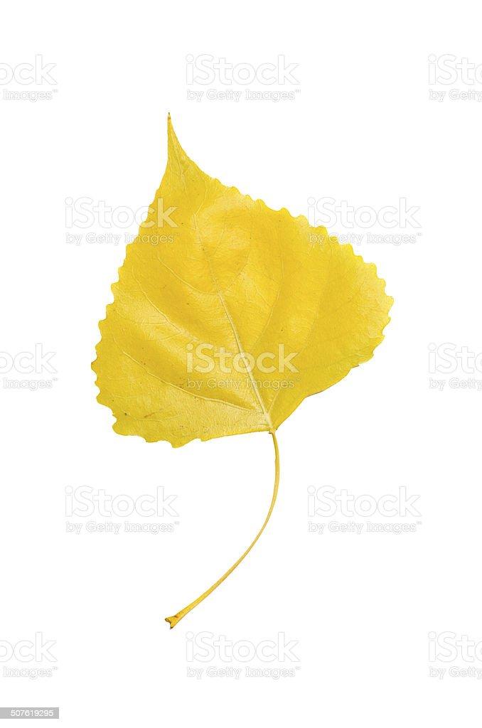 Poplar leaf stock photo