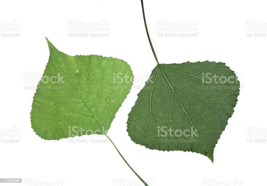 poplar leaves stock photo