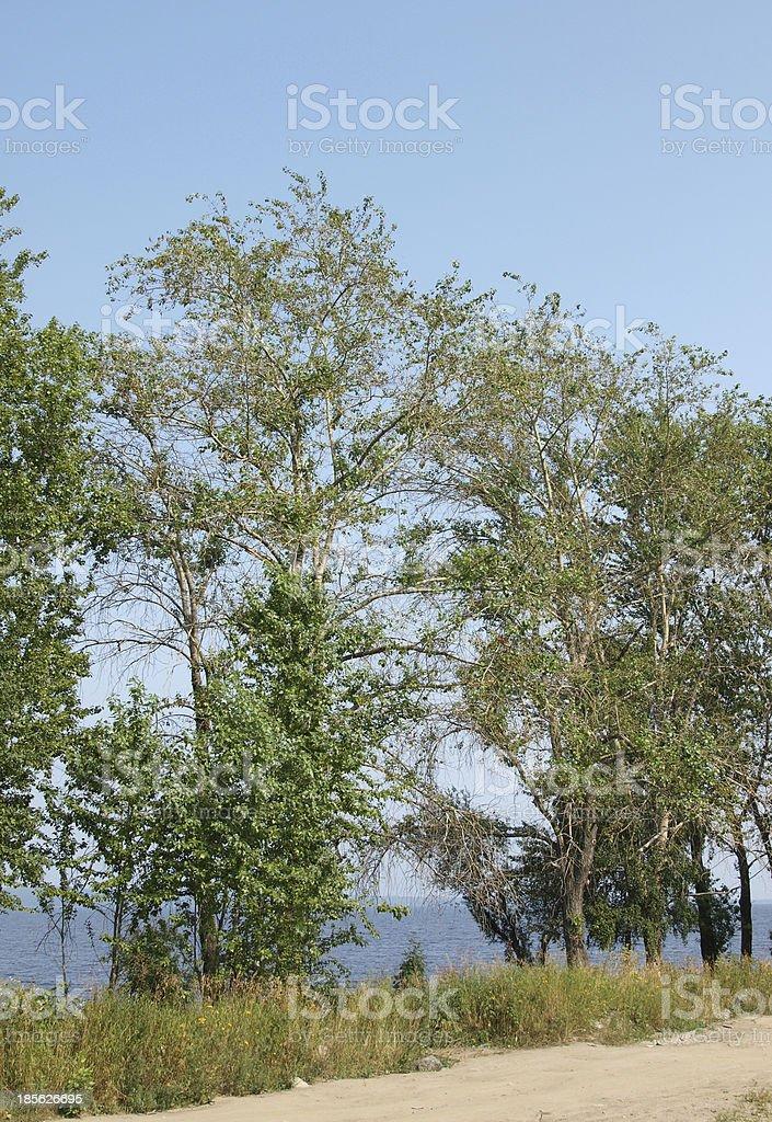 Poplar royalty-free stock photo