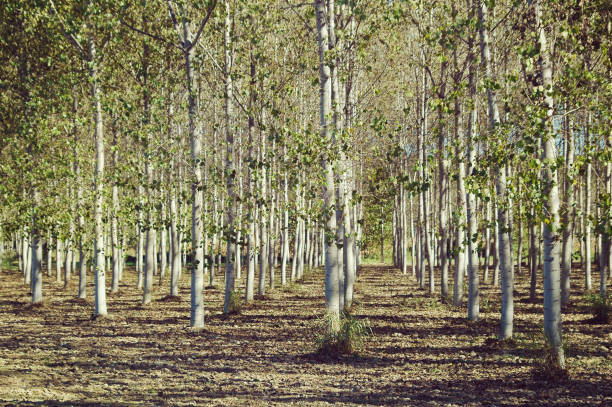 Poplar Plantation, Renewable resource, trees grown for the extraction of wood - foto stock