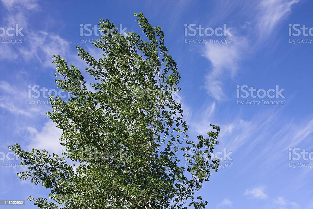Poplar Tree and Blue Sky with Wispy Clouds royalty-free stock photo