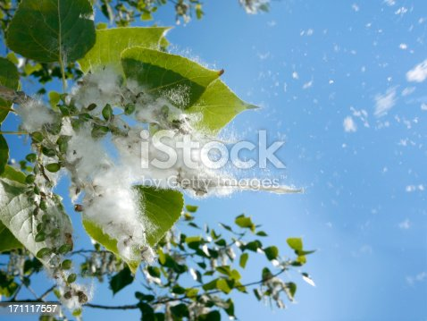 Poplar tree buds opening in spring, to show their silky white hairs.Other images in: