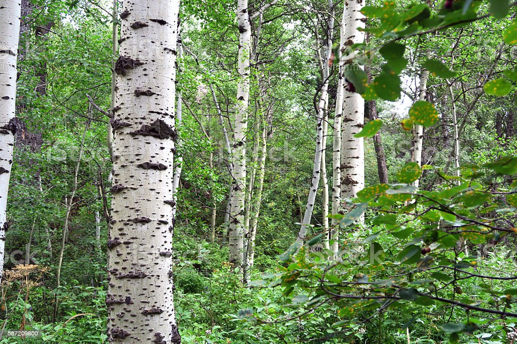 Poplar tree forest in summer in the Rocky Mountains stock photo