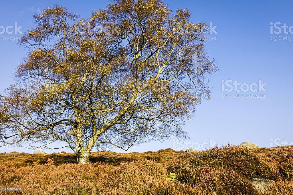 Poplar tree & heather, North York Moors, Goathland, Yorkshire, UK. royalty-free stock photo