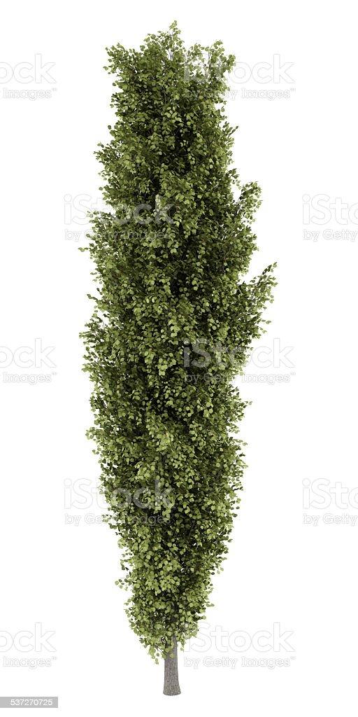 poplar tree isolated on white background stock photo