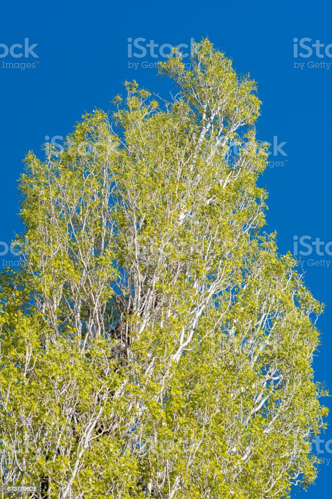 Poplar tree leaves in the spring and blue sky - Populus photo libre de droits