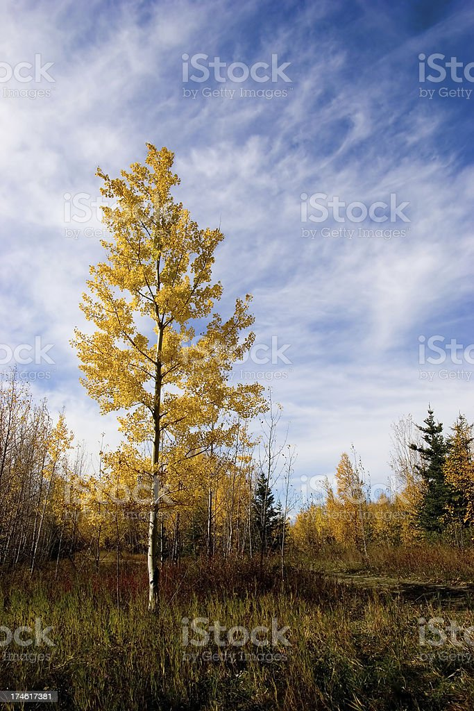 Poplar tree standing in the center of a field by itself royalty-free stock photo