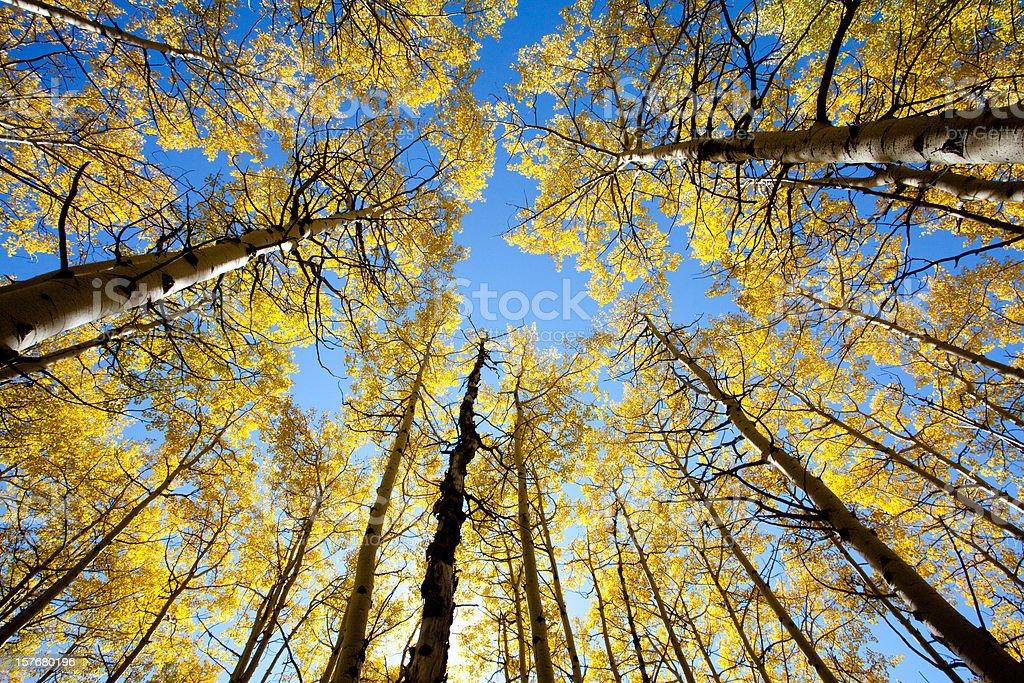 Poplar Trees in Fall stock photo