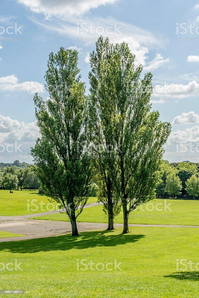 Poplar trees in park stock photo