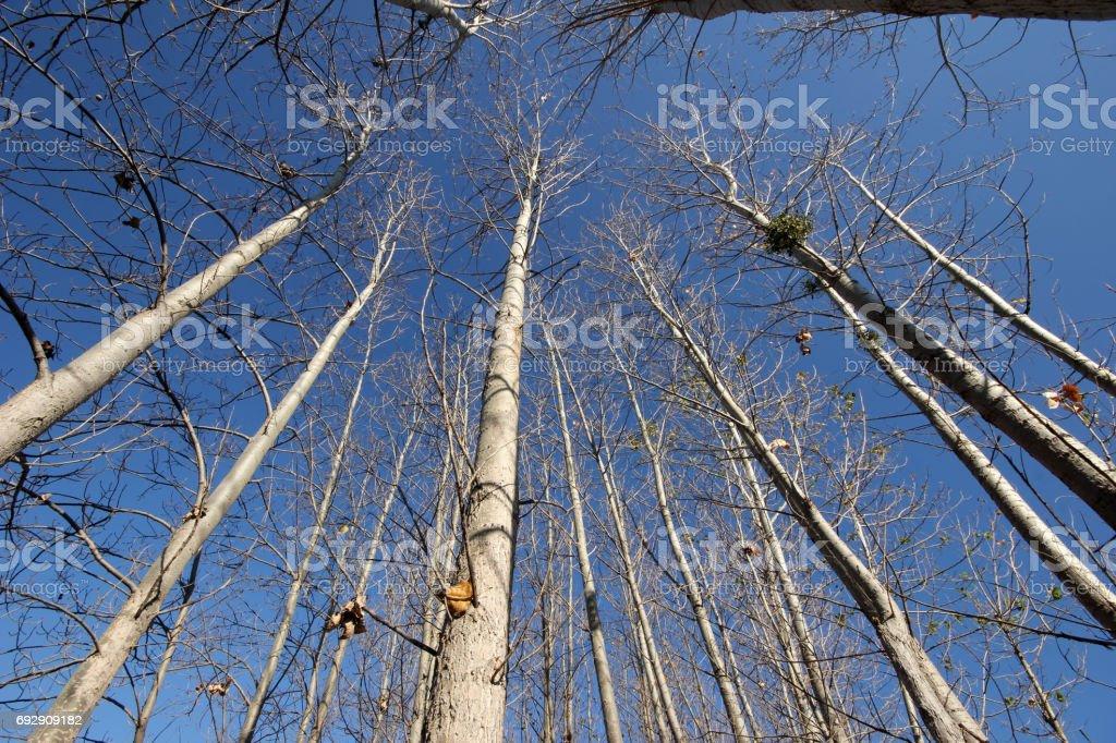 Poplar trees stock photo