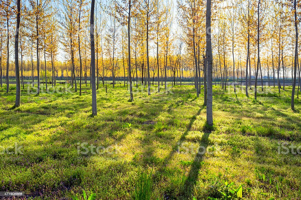 Poplar woods backlight. Color image stock photo