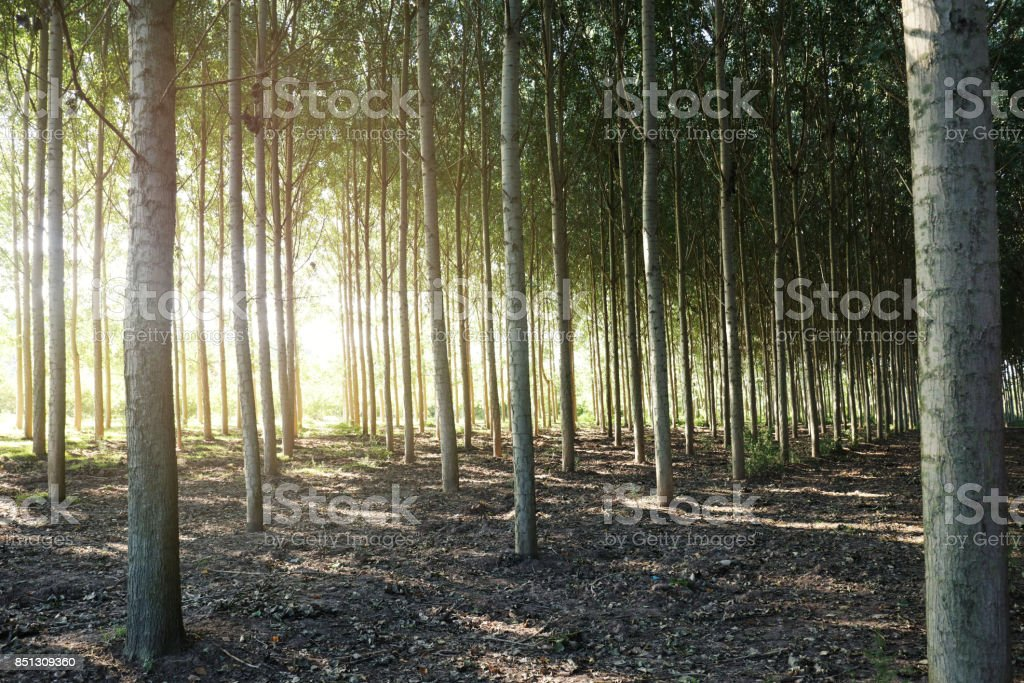 Poplars stock photo