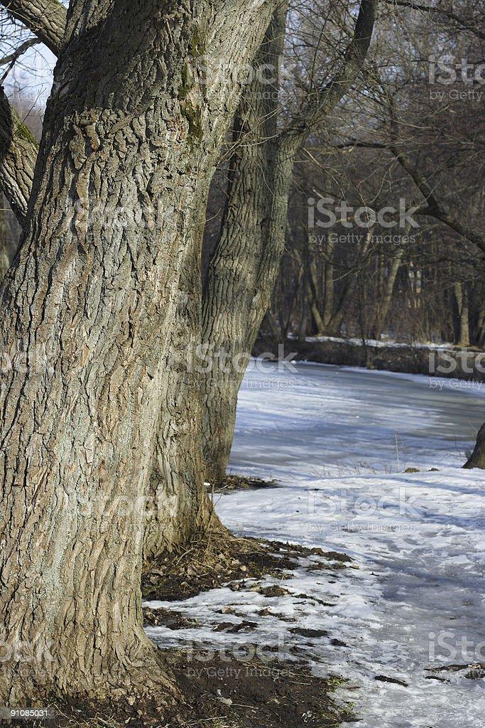 Poplars royalty-free stock photo