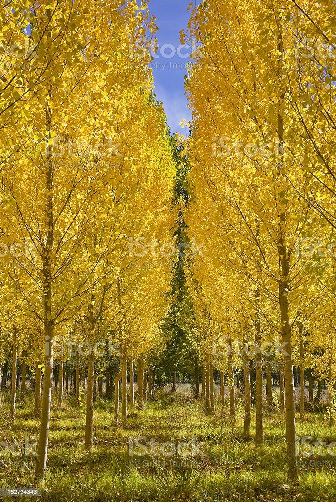 Poplars trees royalty-free stock photo