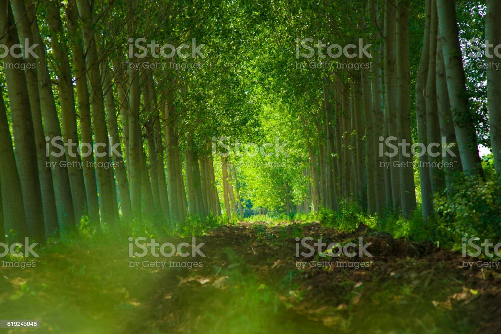 Poplars with background array stock photo