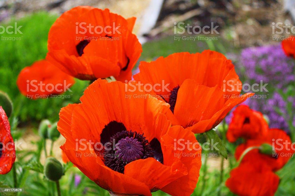 Poppies 2 stock photo