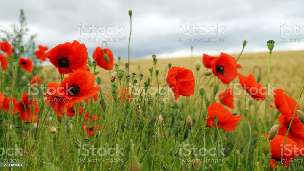 Poppies After Rain In Background Of A Field Of Rye Stock Photo