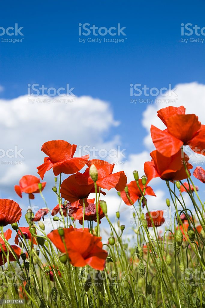 Poppies against blue Sky. royalty-free stock photo