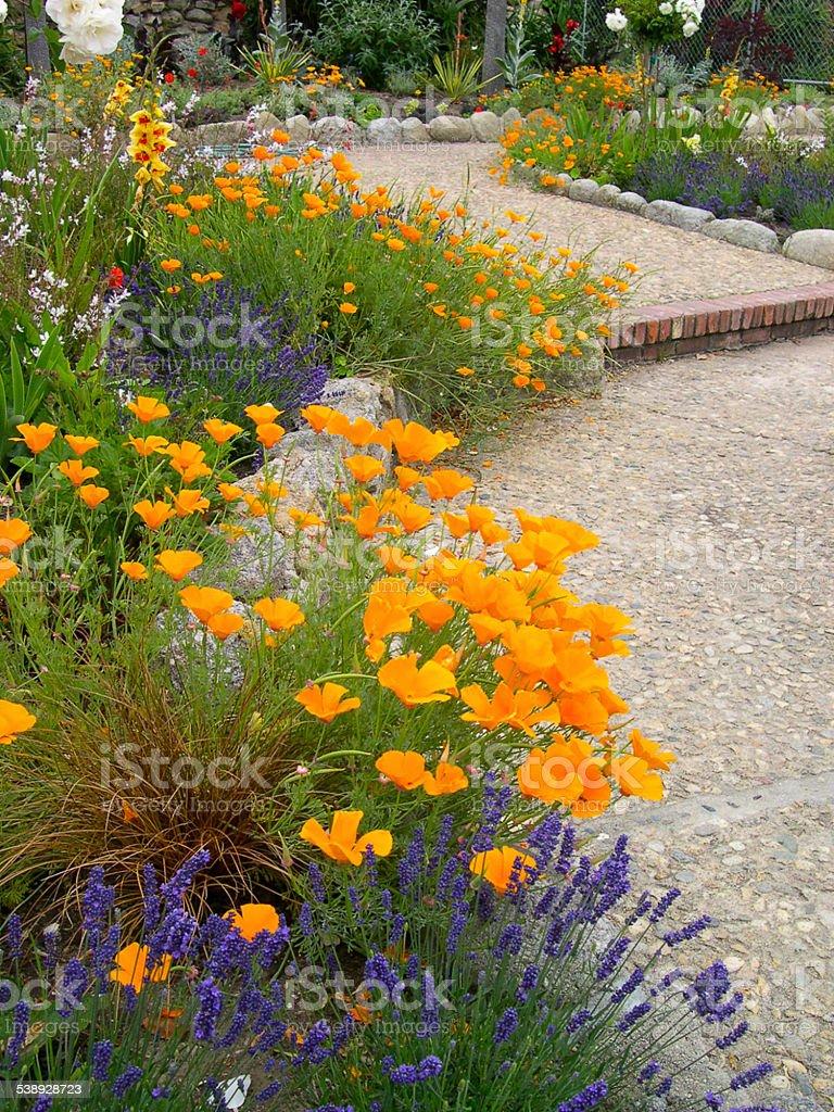 Poppies along a garden path in Botanical Garden California stock photo