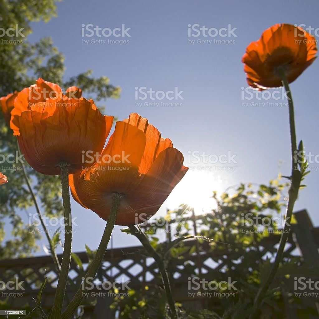 Poppies and a clear sky royalty-free stock photo