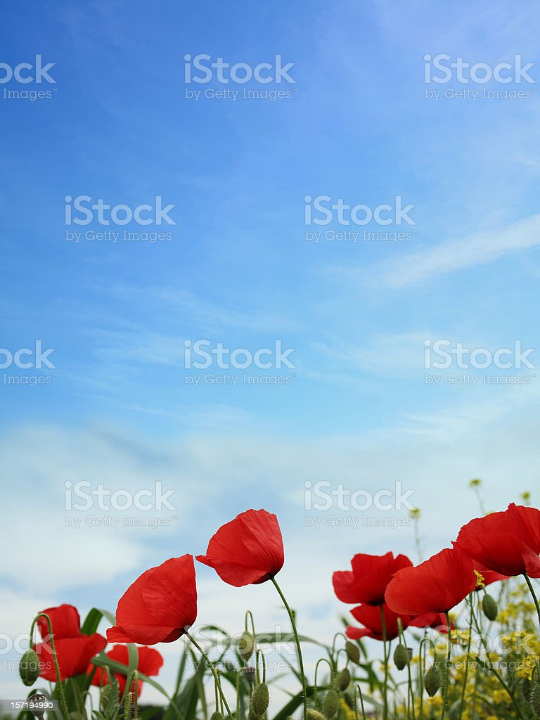 Poppies and field royalty-free stock photo