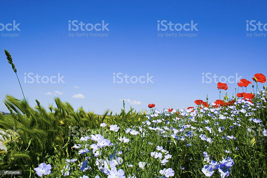 Poppies and field tree royalty-free stock photo