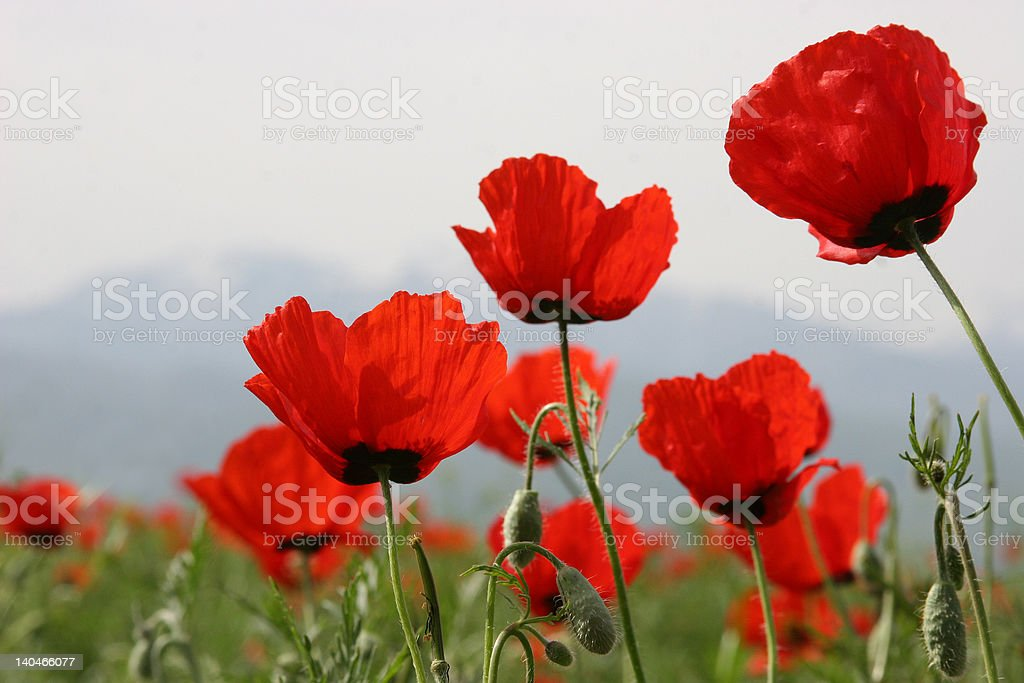poppies and field two spring... royalty-free stock photo