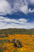 There was a proliferation of wildflowers in March 2017 in northwestern Baja California after the prodigious rains of the preceding winter.  The 100 km stretch of desert between El Rosario and Cataviña exploded with at least 50 species of wildflowers in such abundance as to cover entire hillsides and valleys with swaths of color.  In this photo, California poppy (Eschscholzia californica), common goldfields (Lasthenia gracilis), and cholla brincadora (Cylindropuntia alcahes) predominate under a dramatic sky.