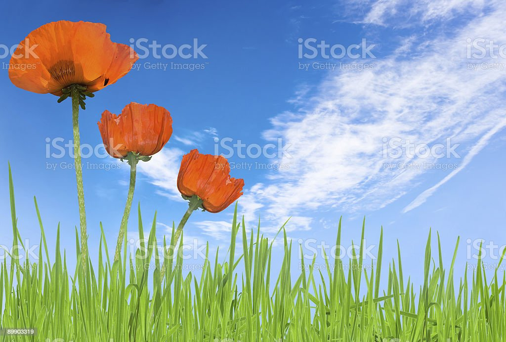 poppies and grass with sky royalty-free stock photo