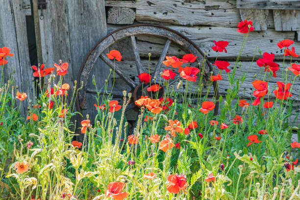 Poppies and historic buildings in the Texas hill country. stock photo