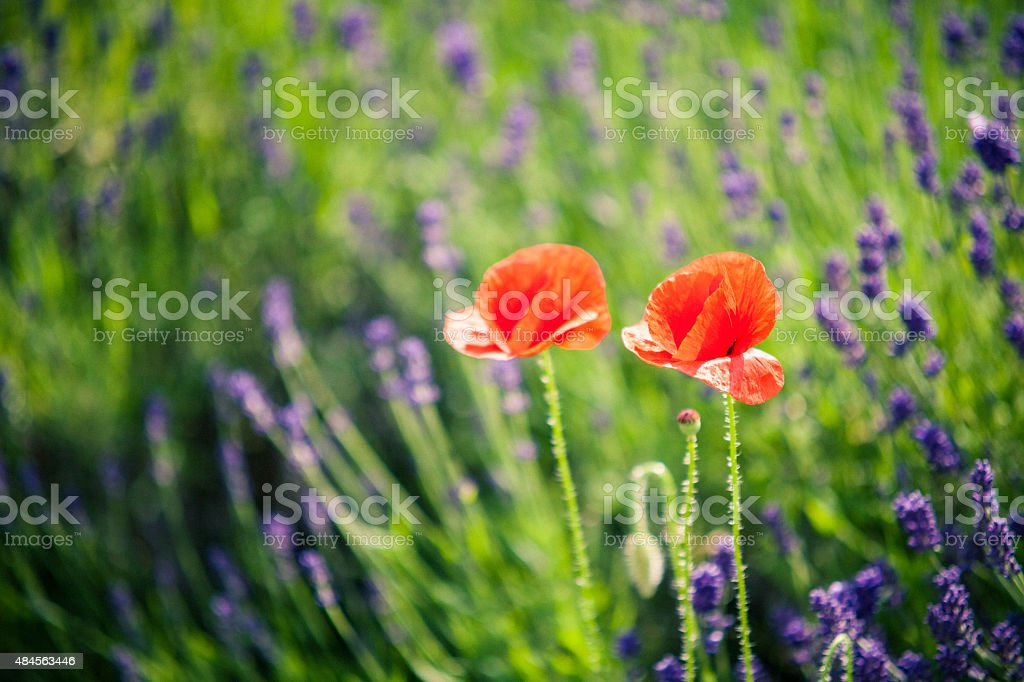 Poppies and lavender. stock photo
