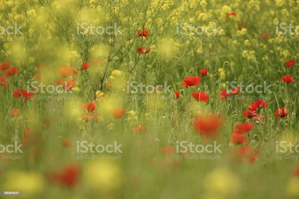 Poppies and rapeseed stock photo