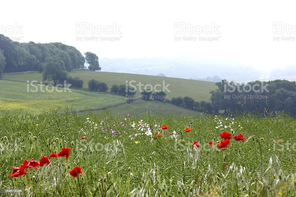 Poppies and Sea Mist royalty-free stock photo