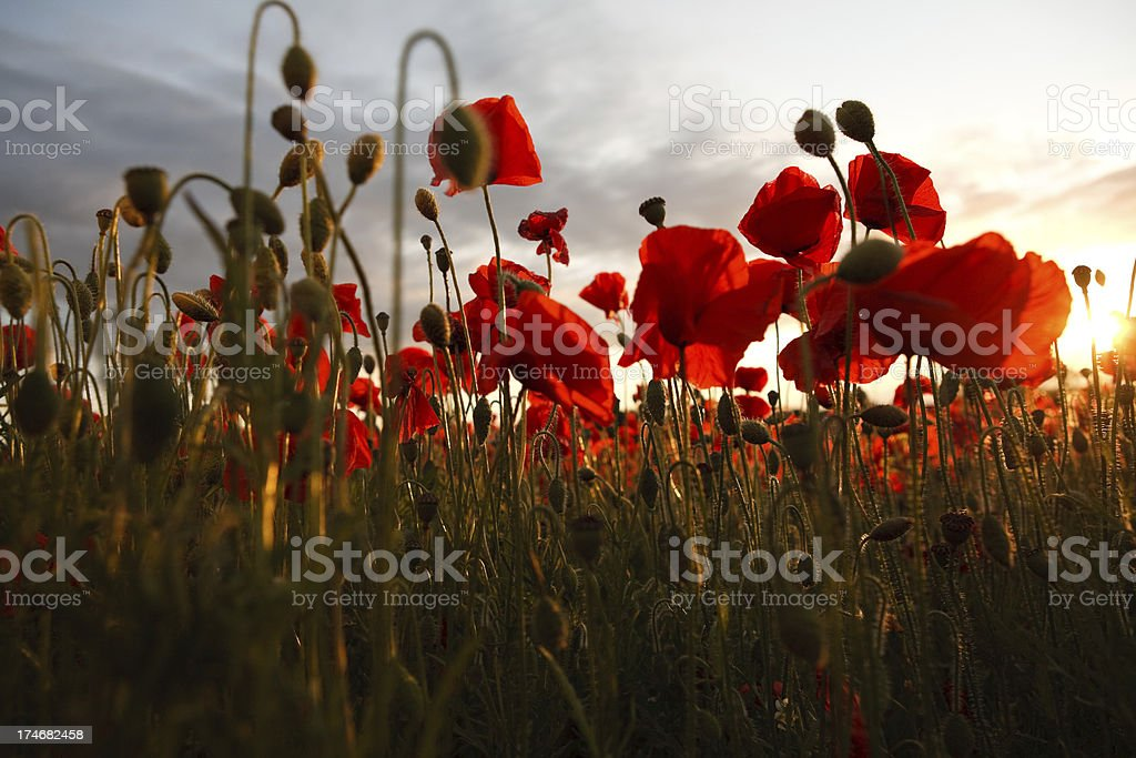 Poppies at sunset royalty-free stock photo