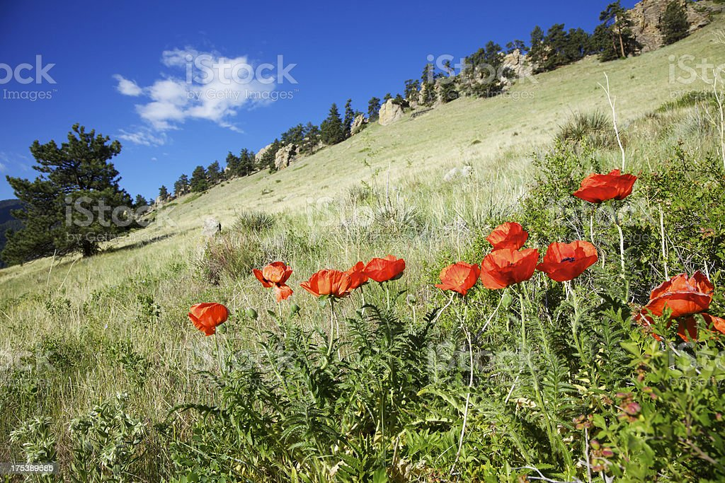 Poppies Below Mount Sanitas in Boulder Colorado royalty-free stock photo
