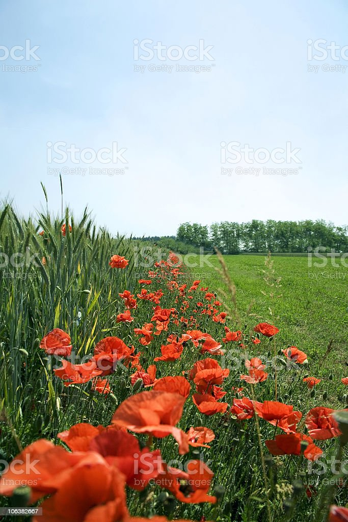 Poppies. Color Image royalty-free stock photo