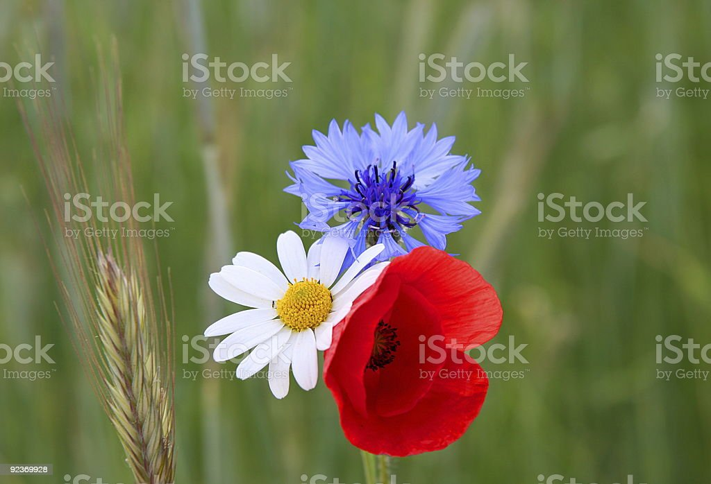 Poppies, cornflowers and chamomiles in a wheat royalty-free stock photo