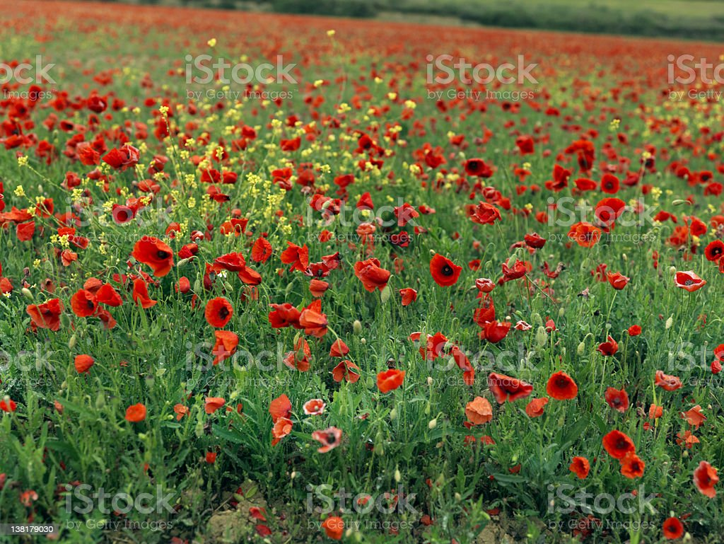 Poppies Field 39 mgx royalty-free stock photo