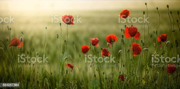 Poppies field at sunset picture id534057384?b=1&k=6&m=534057384&s=612x612&h=d1qhlde gpfvq1zkjlmgqiirfzfjkkifrli3owegsv4=