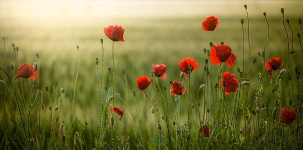 Poppies field at sunset stock photo