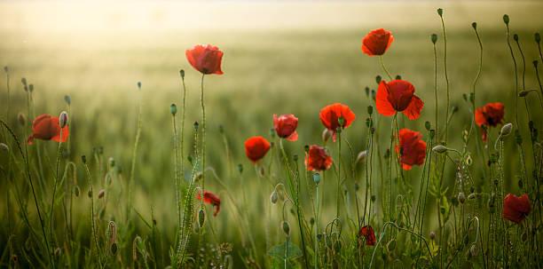 poppies feld bei sonnenuntergang - mohn stock-fotos und bilder
