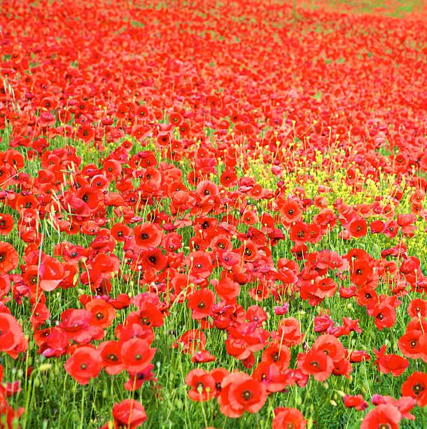 Poppies Field – Foto