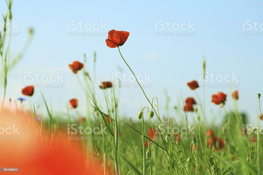 Poppies field royalty-free stock photo