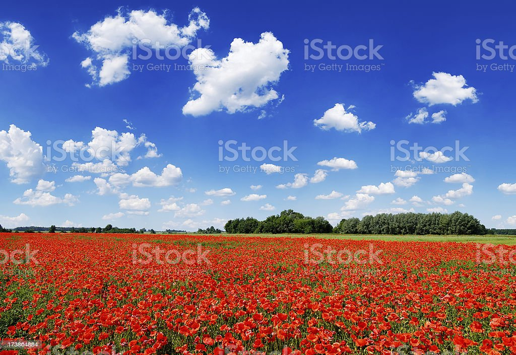 Poppies filed, the blue sky and white clouds royalty-free stock photo
