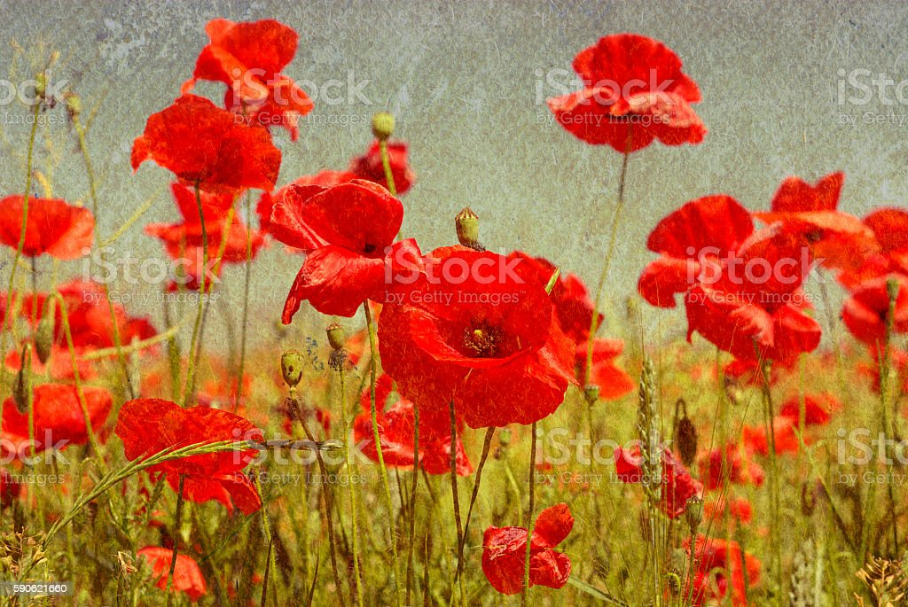 poppies flowers on a background stock photo