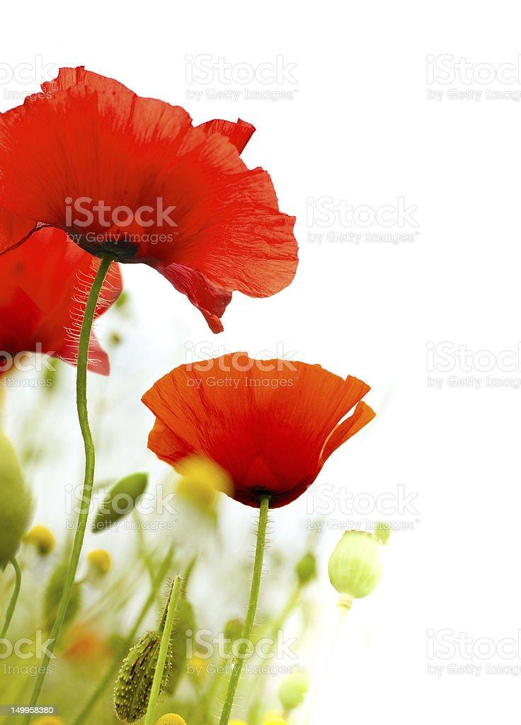 poppies flowers stock photo