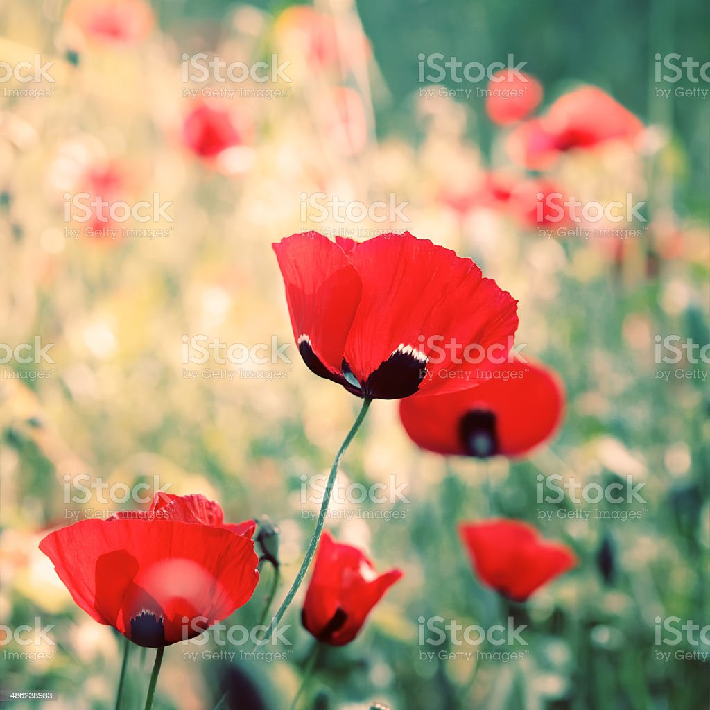 poppies flowers stock photo