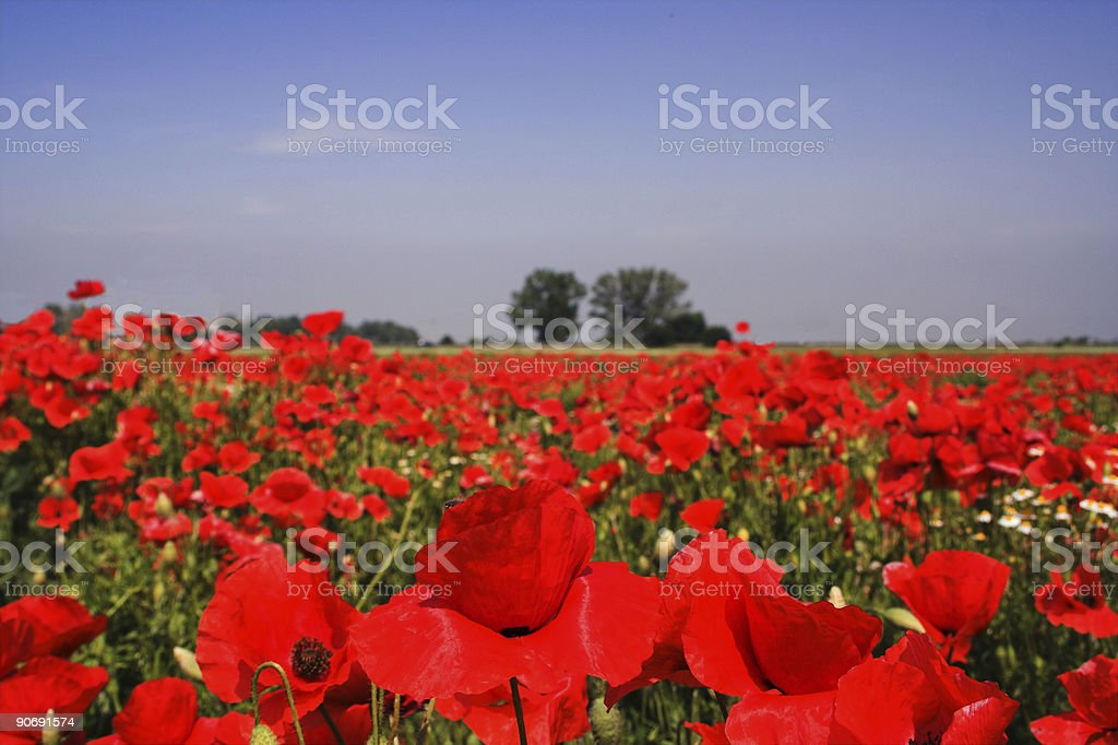Poppies front and center royalty-free stock photo